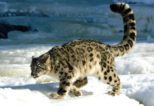 snow leopards  in himachal