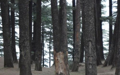 shimla forest